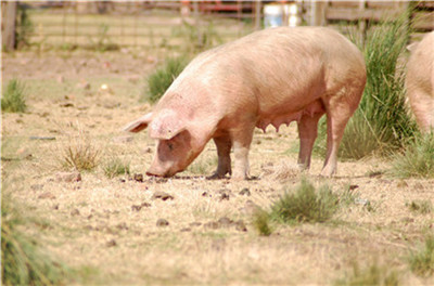 重磅!河南省政府13条举措加快稳定生猪生产保障市场供应