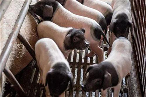 调运新规,11月30日开始试点禁止非中南区的肉猪调入!