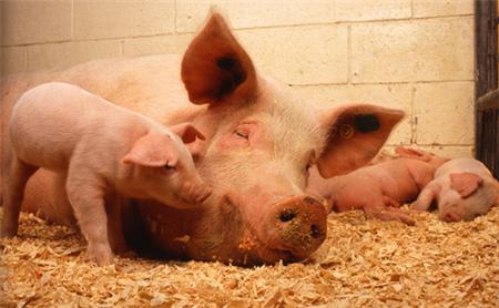 官方公布最新生猪存栏数据!真缺猪?缺多少?怎么补?