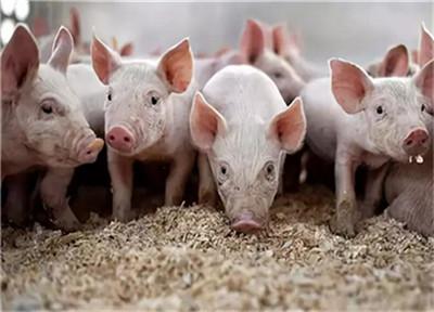 """涨""""疯""""了,40元猪价真的来了!措施五花八门,养猪人受益了?"""