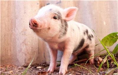 全国普涨局面已形成?猪价高涨,屠企加价抢猪!