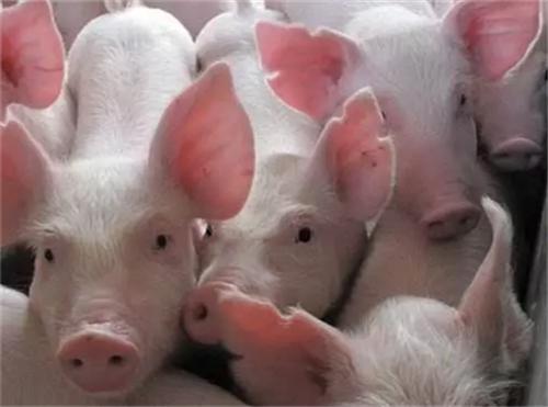 猪体内缺少锌元素,会导致猪体掉毛!