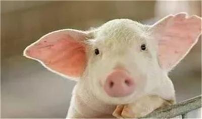 金猪行情喜人,全国猪价普涨!无任何省市下跌