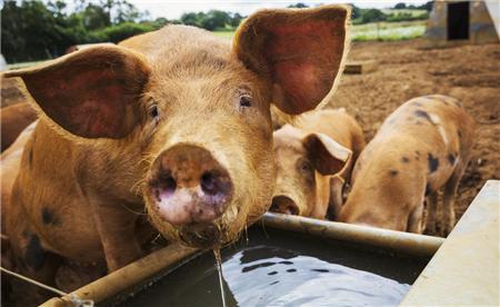 新建养猪场怎样选好场地以及合理布局?一篇文章让您少走弯路