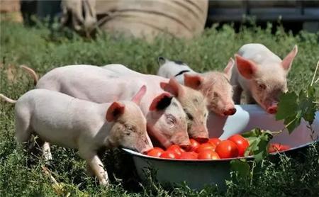 母猪分娩时应该注意啥?一篇文章学会母猪分娩期间的饲养管理