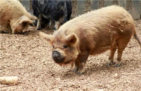 气温骤降,猪场怎样预防猪水疱病?与口蹄疫有什么区别?