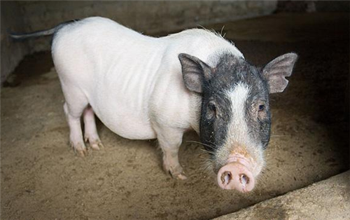 分娩母猪攻击性强是什么原因造成的?