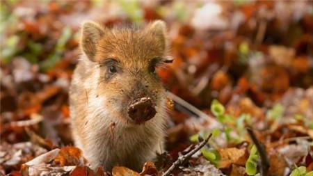 如何预防猪群爆发传染病?做到了这三点,养猪人能轻松养好猪