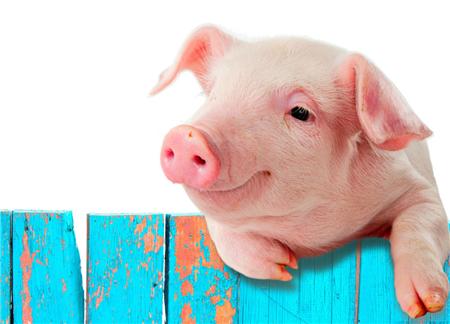 猪9种腹泻类疾病病的诊断要点,养猪人你学会了吗?