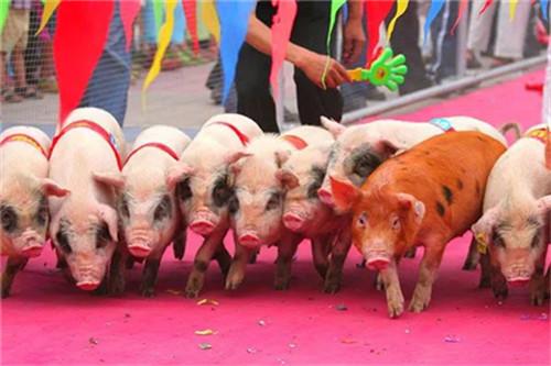 为什么你的猪场怀孕母猪会莫名流产?原因找到了吗?