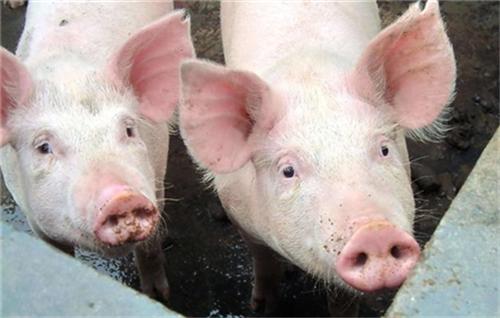 以后遇到这8中母猪要淘汰,对猪场效益不大!