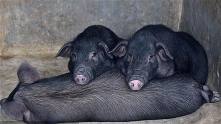 如何评价母猪的好坏?从5个方面分析,繁殖力低的母猪要淘汰