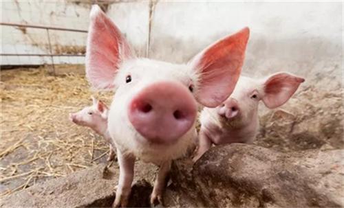 注意了,这5中原因会引发猪群呼吸道疾病!