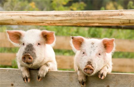 鸡蛋清在猪病中的作用,能治疗哪些猪病