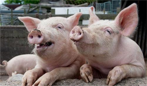 猪场保暖是关键,10个方法教你具体该怎么做!