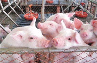 猪肉概念股金新农,前三季净利润预计最高3800万元