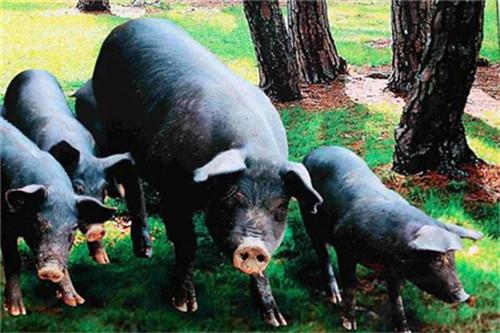 湖北省:拨款4.2亿元财政资金鼓励生猪生产