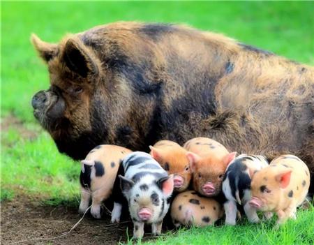 规模化养猪,猪场的建设必需注意这四点,缺一不可