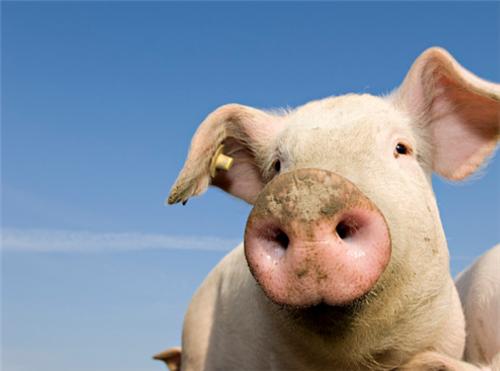 猪价暴涨,影响9月份CPI及经济走势,回调可能性增加!