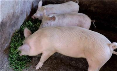 猪价出现高位震荡的背后,是有价无市!
