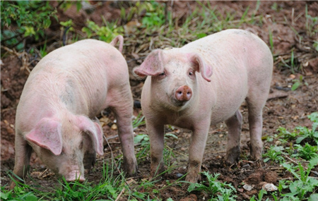 中国科学家全球首次解析非洲猪瘟病毒结构,疫苗依据来了!