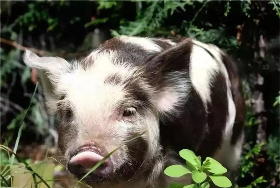 猪企推迟生猪上市时间 龙头温氏出栏同比下滑超50%