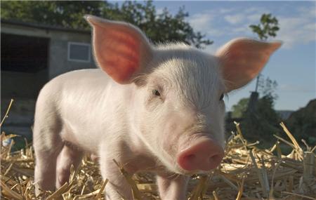 农业农村部称目前无法实施生猪市场保护价格政策!