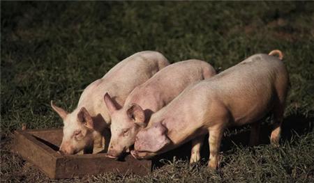 秋季哪种猪病最让人闹心?这4种呼吸道疾病,你必须学会区分