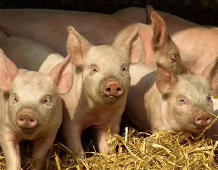 高湿环境下猪群容易暴发的3大问题,兽医:应该这么做!