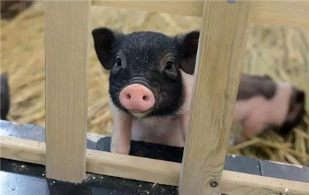 """猪价打开""""新视野"""",10月还能继续猛飙!(42周综述)"""
