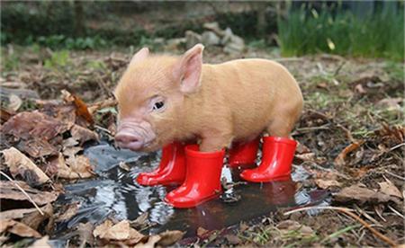 牧原股份称已能有效防控非瘟,猪健康有较大提高?