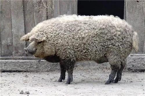 约翰·迪恩:对非洲猪瘟控制方法选择的思考