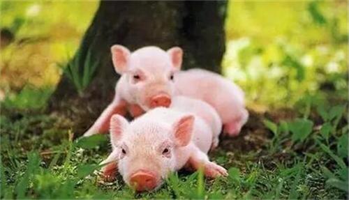 """三季度业绩飘红 生猪养殖企业的""""春天""""来了?"""