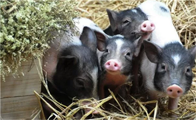 """""""观察猪""""也能上保险了?猪死亡可获前期消毒费用赔偿!"""