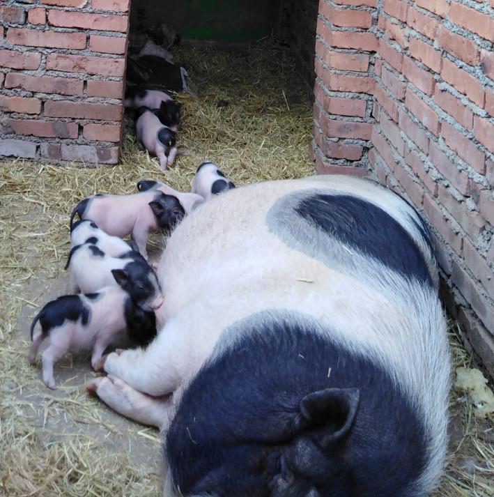 低价供应纯种巴马香猪幼猪及种猪