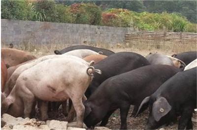 秋冬季节常见的猪病有哪些?副猪、呼吸道、链球菌病