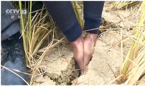 江西81天无雨,对农业生产不利!