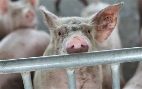 母猪饲喂技巧大全,你想知道的都在这里