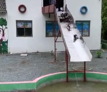 跳水小猪!会游泳的猪!厉害了!