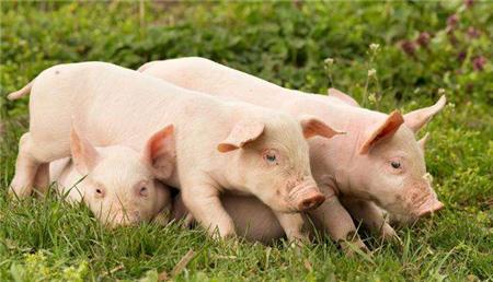 农村小型养猪场设计,最低成本科学养猪简易猪栏猪舍建造图!