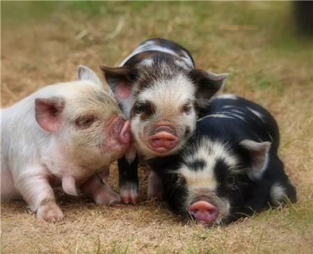 加码养猪政策扶持!湖北贴息4100余万、山东简化猪场备案、广东和安徽则表示......