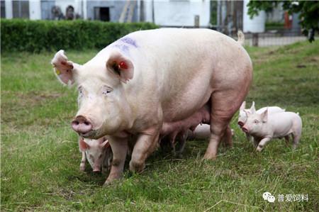 """三元母猪变养猪界种用""""新宠"""",短板问题需解决!"""