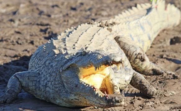 11岁女孩勇斗鳄鱼 为救同伴爬上鳄鱼背抠眼睛