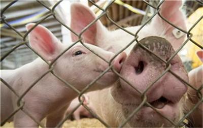 猪突然喜欢到处舔食,吃粪便,到底出了什么原因?