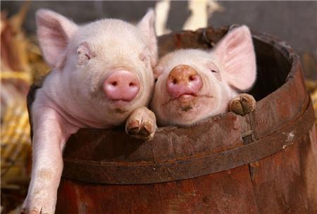 生猪价格高价区主要集中在华东、华南地区,行情受外力影响小,价格稳中前进!