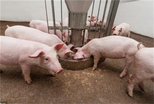提高豆粕用量有助于对抗仔猪肠道感染