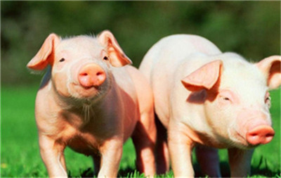 母猪拒绝哺乳怎么办?从这些方面找原因,对症治疗,效果好
