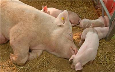 做好母猪最关键的两周,仔猪的成活率可保持在99%以上!