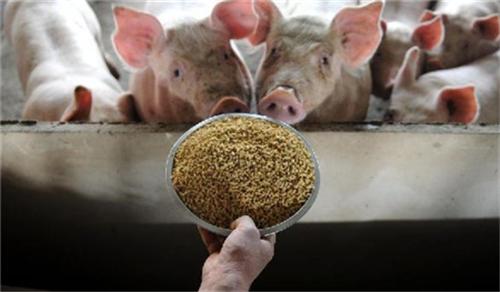 加拿大养猪方法:糖可减轻仔猪疼痛!