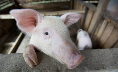 秋季是养猪的黄金时期,饲养过程中要注意这四点